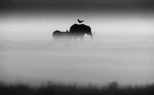laurent-baheux-elephants