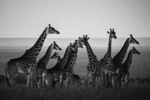 laurent-baheux-giraffes