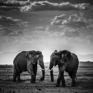 laurent-baheux-photos-elephants
