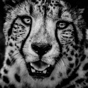 laurent-baheux-tigre